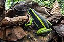 Adult three-striped poison dart frog (Ameerega trivittata)(formerly Epipedobates trivittatus) (Dendrobatidae). Manu Biosphere Reserve, lowland Amazon rainforest, Peru.