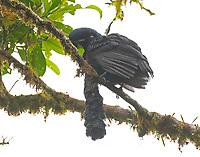 Male long-wattled umbrellabird