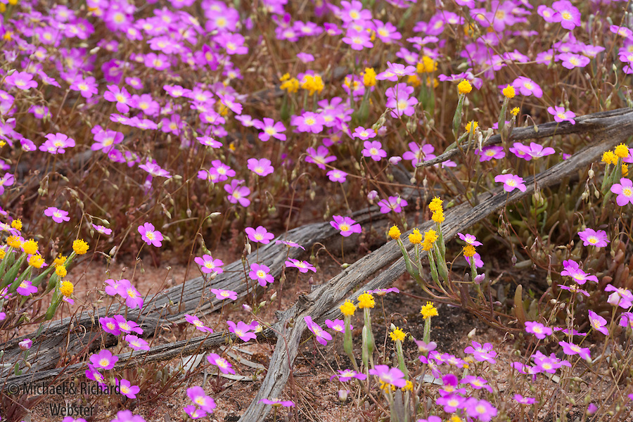 Spring Flowers In Bloom Western Australia Websters Wildshots
