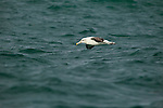 White-capped Albatross (Thalassarche steadi) gliding over ocean, Kaikoura, South Island, New Zealand