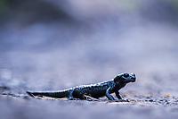 Alpine Salamander, Switzerland