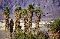 Palm trees at Furnace Creek in Death Valley, California, USA
