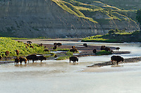 American Bison herd (Bison bison) gathered along the Little Missouri River in Theodore Roosevlet National Park, North Dakota for a morning drink.  Summer.