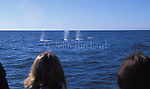 California Grey Whales viewed from a boat near Fort Bragg on the Mendocino Coast of Northern California