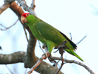 Red-crowned parrot in pecan tree in Weslaco, TX, part of a large flock gathering for roosting