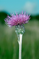 MEADOW THISTLE Cirsium dissectum (Asteraceae) Height to 75cm. Creeping perennial that produces upright long, slender flowering stems that are unwinged, downy and ridged. FLOWERS are borne in heads, 20-25mm across, with reddish purple florets and darker bracts; heads are solitary (Jun-Jul). FRUITS have feathery pappus hairs. LEAVES are oval, toothed, green and hairy above and white cottony below. STATUS-Locally common in S and central England, Wales and Ireland.