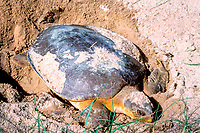 Australian flatback sea turtle, Natator depressus, on nesting beach, N. Queensland, Australia
