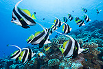 Kauehi Atoll, Tuamotu Archipelago, French Polynesia; schooling bannerfish swimming in formation over the coral reef