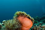 Orange Anemone,Wide Angle; colorful tropical reefs; healthy reefs; reefscapes, Maldives