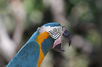 An extremely rare Blue-throated Macaw, Ara glaucogularis, from north Bolivia a Critically Endangered species. (captive)