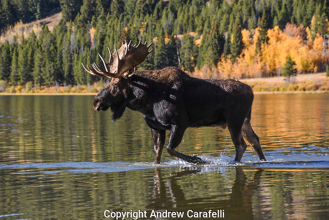 A large bull moose struts his stuff around Two  Oceans Lake in Grand Teton National Park, Wyoming.