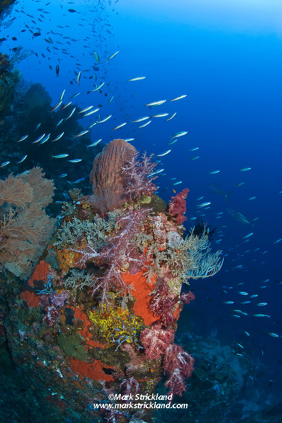 A school of Bluestreak Fusiliers, Pterocaesio tile, streams past colorful soft corals, Gorgonian fans and various sponges as a pair of Dogtooth Tuna patrol in the distance. Narcondam Island, Andaman Islands, Andaman Sea; India