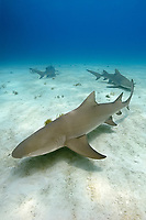 lemon shark, Negaprion brevirostris, West End, Grand Bahama, The Bahamas, Caribbean Sea, Atlantic Ocean