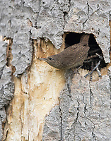 A House Wren leaves its nest after delivering prey.