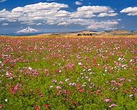 Mt Hood  and field of cosmos flowers viewed from Jefferson County, Oregon
