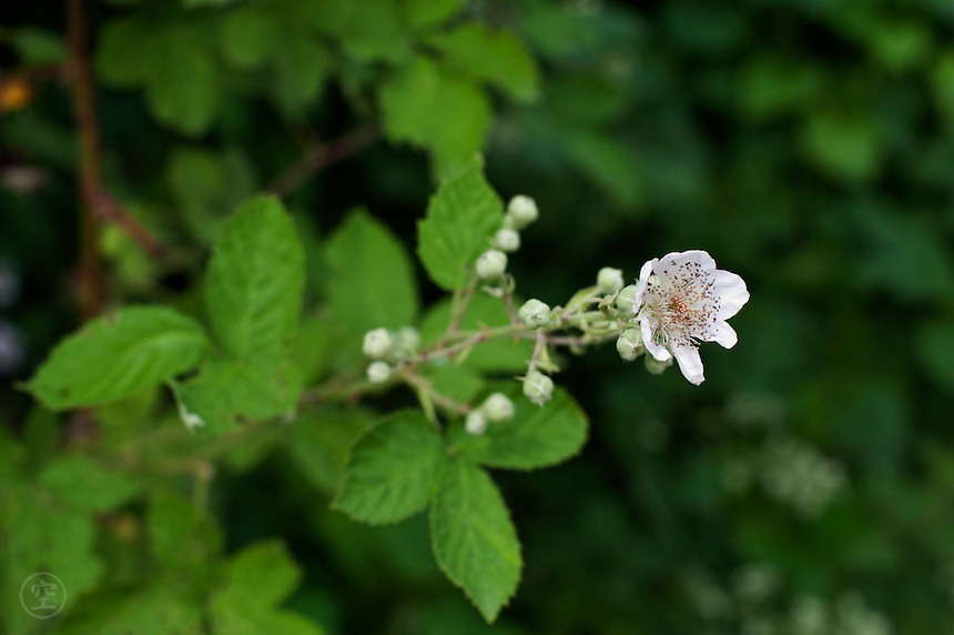 Detail of a blackberry flower white against the green leaves of the blackberry plant.