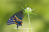 03009-01818 Black Swallowtail butterfly (Papilio polyxenes) male on Cosmos Sensation Mix bud, Marion Co., IL