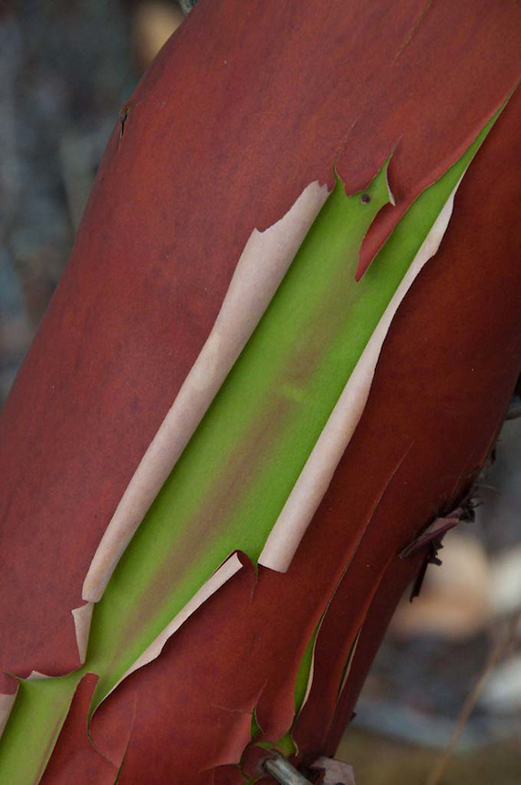 Peeling Bark of Madrona Tree (Arbutus menziesii) at English Camp, San Juan Island, Washington, US