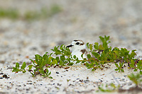 Adult Snowy Plover (Charadrius alexandrinus) incubating on nest. Bon Secour National Wildlife Refuge. Baldwin County, Alabama. June.
