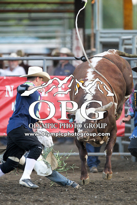 20 Aug 2014: PRCA rodeo bull Thunder Struck was on hand for the Seminole Hard Rock Extreme Bulls competition at the Kitsap County Stampede in Bremerton, Washington.