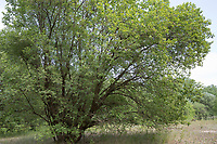 Sal-Weide, Salweide, Weide, Salix caprea, Goat Willow, Pussy Willow, Sallow, great sallow, Le Saule marsault, Saule des chèvres