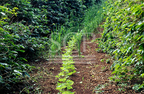 Distrito Federal, Brazil. Experimental agriculture station; beans and cereal interplanted between coffee bushes.