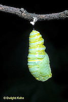 MO06-008z  Monarch Butterfly - caterpillar molting and forming chrysalis - Danaus plexippus