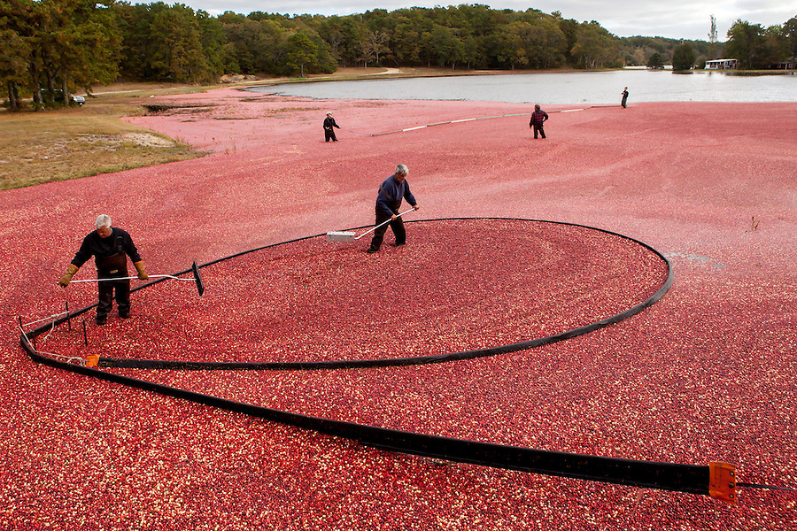Ray Thacher and his crew corral cranberries after flooding a bog during the cranberry harvest in Brewster, MA.