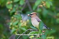 01415-02516 Cedar Waxwing (Bombycilla cedrorum) eating berry in Serviceberry Bush (Amelanchier canadensis), Marion Co., IL