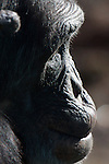 Chimpanzee in profile