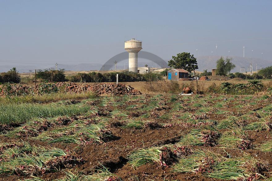 01/01/09 - BHAVNAGAR - GUJARAT - INDE - Recolte d oignons dans le Gujarat - Photo Jerome CHABANNE