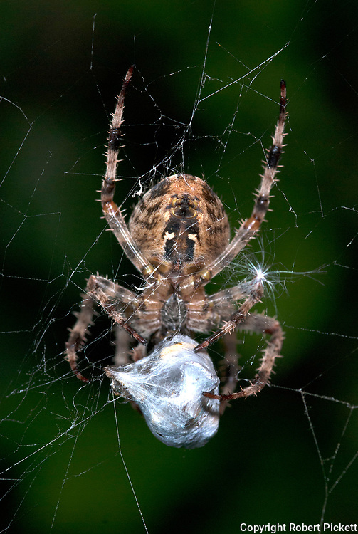 Garden Spider, Araneus diadematus, on web cocooning prey victim, with silk, caught, predation, predator