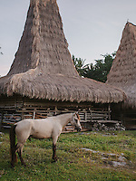 A Sumba horse tied in front of a traditional Sumbanese house in the village of Tosi,  Kodi, Southwestern Sumba.