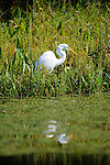 A Great Egret at Rose Valley Lake