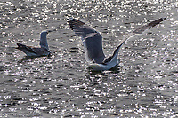 A California gull landing on the sparkling waters of the duck pond at San Lorenzo Community Park near San Francisco Bay, California.