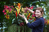 "London, UK. 6 February 2014. Picture: Horticulturalist Anna Bowel at work. The annual orchids festival at the Royal Botanic Gardens, Kew, takes centre stage in the Princess of Wales Conservatory from 8 February to 9 March 2014. This year's theme is ""Orchids: A Plant Hunters' Paradise"". More than 6500 orchids of the Phalaenopsis, Vanda and Cambria hybrids have been worked into colourful displays by a team of 20 people which took 4 weeks to build."