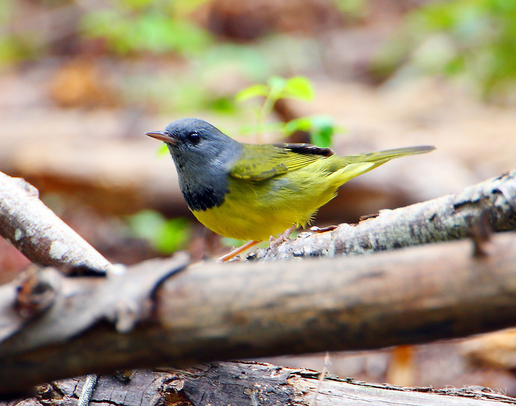 Adult male mourning warbler in fall migration