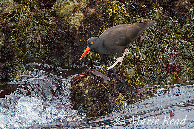 Black Oystercatcher (Haematopus bachmani), foraging amid seaweed-covered rocks along the water's edge, Monterey Peninsula, California, USA