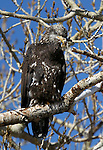 An immature bald eagle sits in a tree on a ranch in Minden, Nev. on Monday, Jan. 21, 2013. .Photo by Cathleen Allison