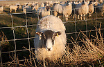 Flock of sheep grazing on drained marshland fields at Gedgrave, Suffolk, England - this one with head caught in wire fence