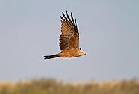Black Kite - Milvus migrans - Adult