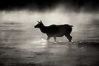Cow Elk crossing Madison River with morning fog. Yellowstone National Park, Wyoming