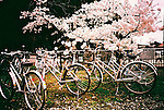 Bicycle are parked under the cherry blossom.