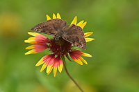 Horace's Duskywing (Erynnis horatius), adult on Indian Blanket/Fire Wheel (Gaillardia pulchella), Hill Country, Central Texas, USA