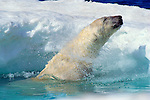 A polar bear shakes himself dry before exiting the water at Wager Bay, Nunavut, Canada.