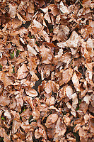 Beech leaves in a hedgerow in winter form in Swinbrook in the Cotswolds, Oxfordshire, UK