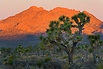 Joshua Trees and rock outcrop at sunrise, near Boy Scout, Joshua Tree National Park, California
