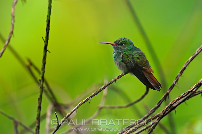 Rufous-tailed Hummingbird (Amazilia tzacatl) perching on a branch.