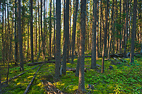 Black spruce trees, bunchberries and moss in the Boreal forest <br />