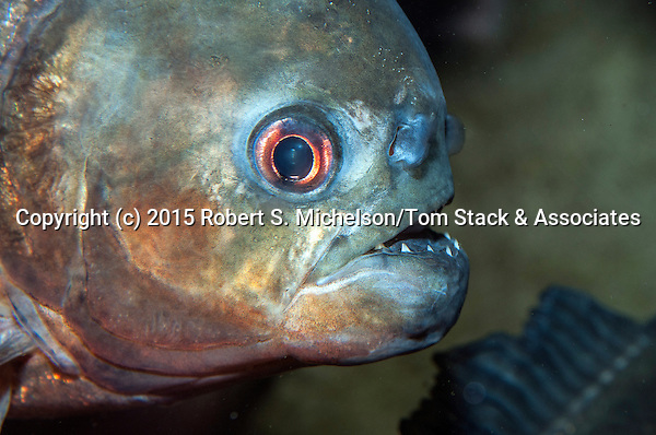 Red-belly Piranha close-up